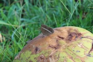 Kupu-kupu berkeliaran bebas di kampung saya